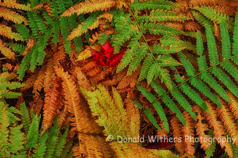 Autumn Ferns| Acadia National Park
