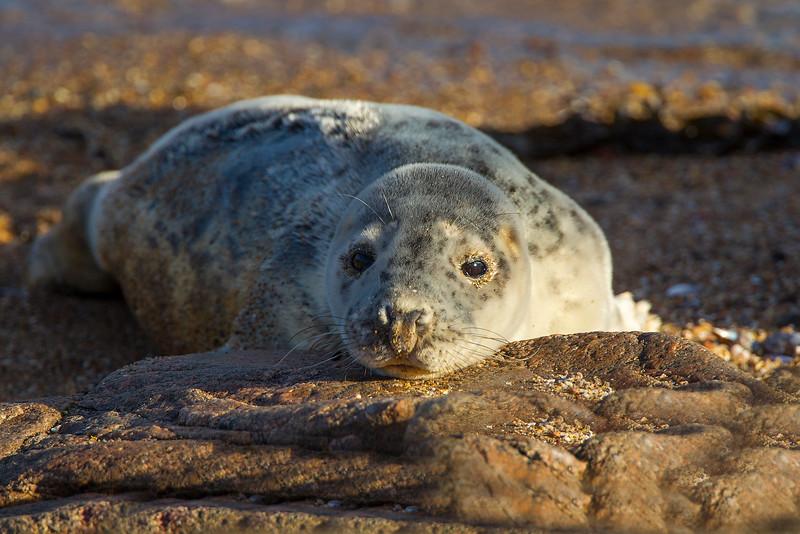 Grey Seal.