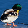 Male Mallard Duck, Preening.