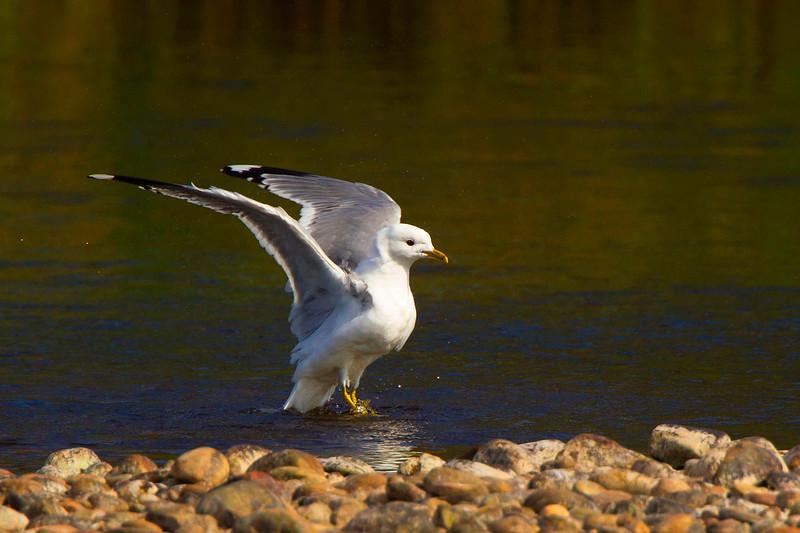 Common Gull.