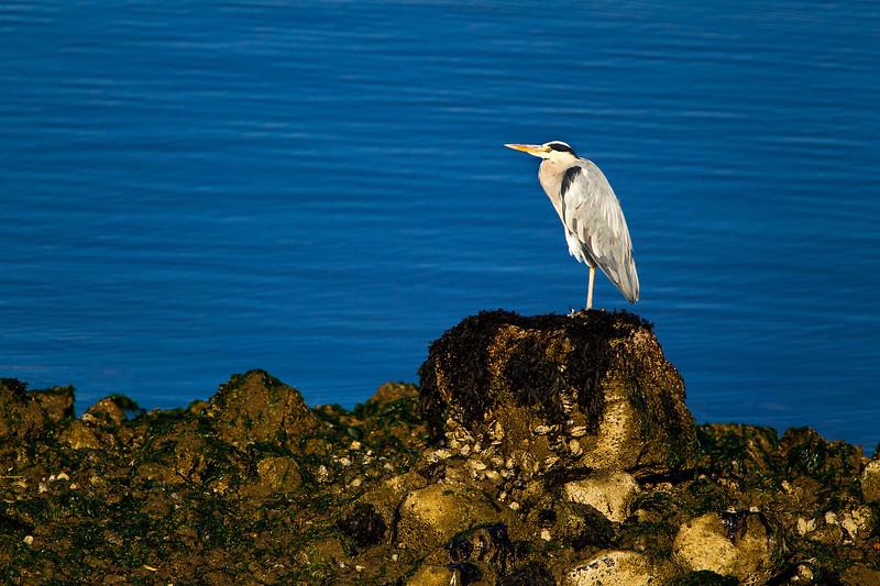 Grey Heron in Beautiful Light.