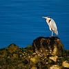Grey Heron in Beautiful Light.