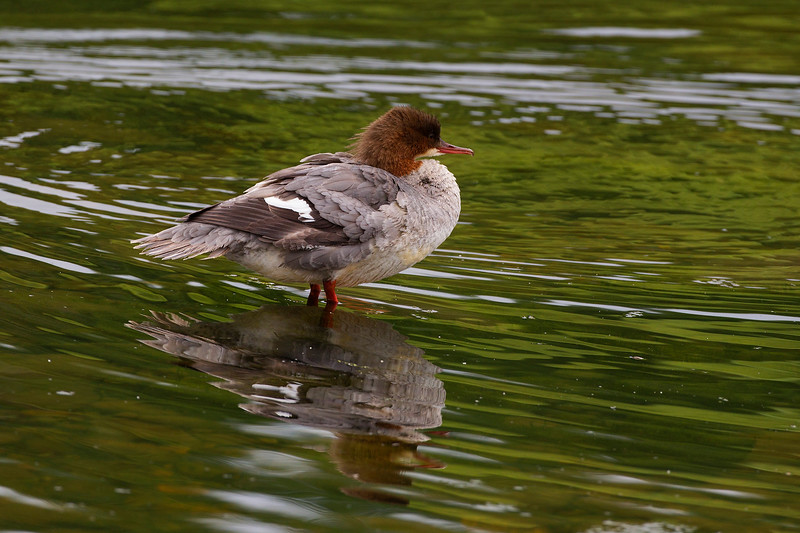 Female Goosander Reflection.