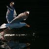 Back Lit Herring Gull.