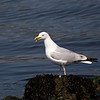 Herring Gull with a morsel of food.