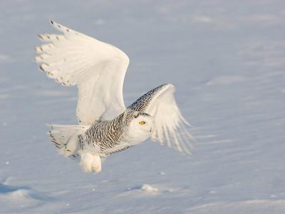 Snowy Owl. in Flight.
