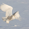 Snowy Owl. in Flight.