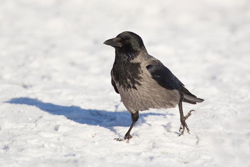 Hooded Crow.