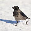 Hooded Crow.