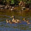 Mallard Duck with Chicks.