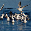 Group of Black Headed Gulls in Different Plumages.