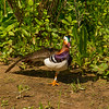 Male Mandarin Duck Stretching.