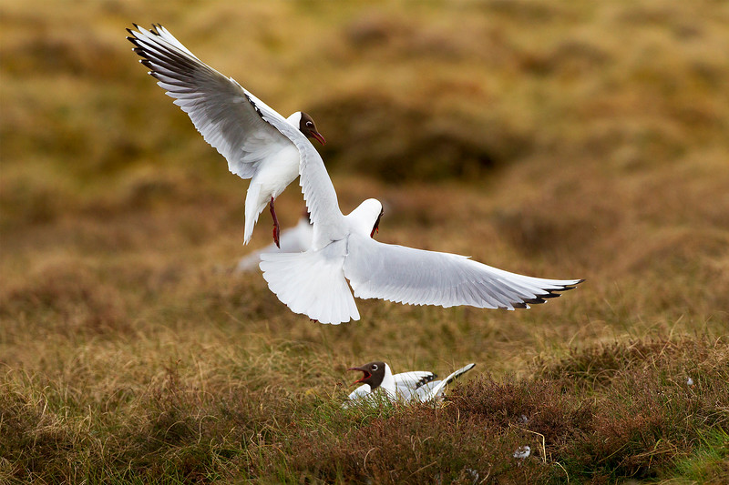 Punch Up with 2 Black Headed Gulls over Female on nest.