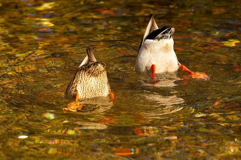 Bums UP. Pair of Mallard Ducks.