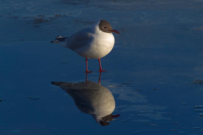 Reflection Black Headed Gull.