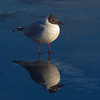 Reflection Black Headed Gull.