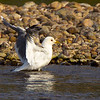 Common Gull Stretching.