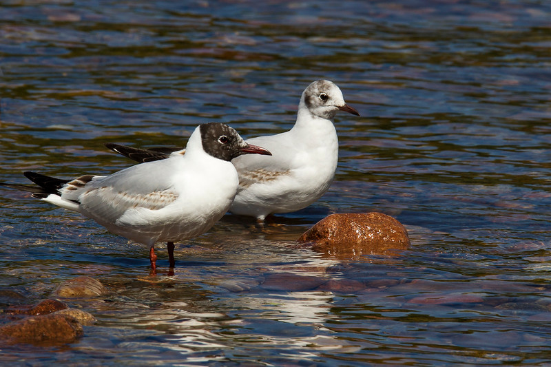 2 Black Headed Gulls in different plumage.