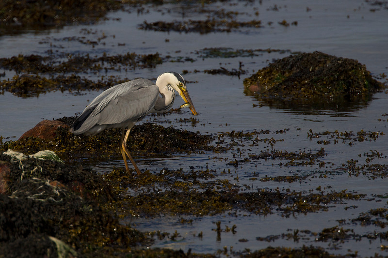 Grey Heron with a Fish.