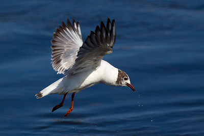 Immature Black Headed Gull in Flight.