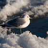 2ND Winter Common Gull.