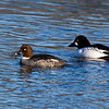Male and female Goldeneye Ducks.
