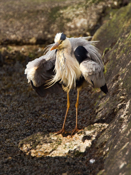 Heron Ruffling Feathers.