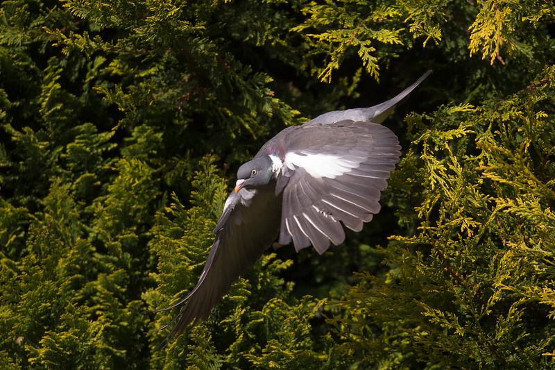 Wood Pigeon Flying.