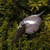 Wood Pigeon Flying.