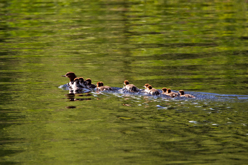Female Goosander with 11 chicks.!