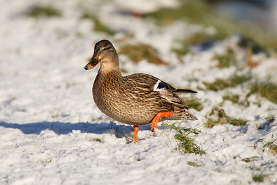 Female Mallard Duck in Snow.