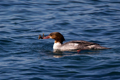 Female Goosander with Food.