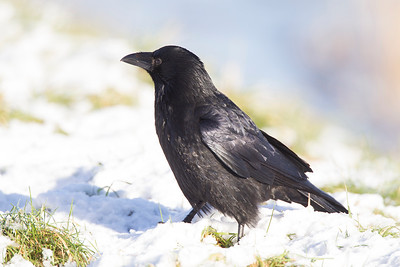Carrion Crow in Snow.