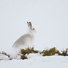 Mountain Hare in Snow.