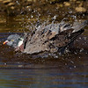 Woodpigeon having a bath.