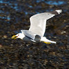 C0mmon Gull with a Mussel