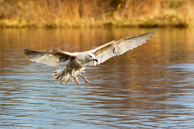 Immature Common Gull .