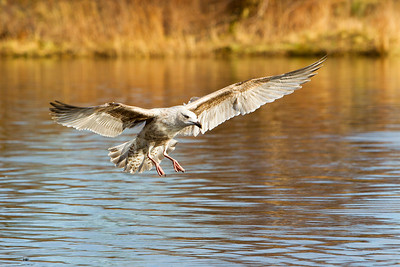 Immature Common Gull .