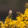 Gold Finch on Gorse.