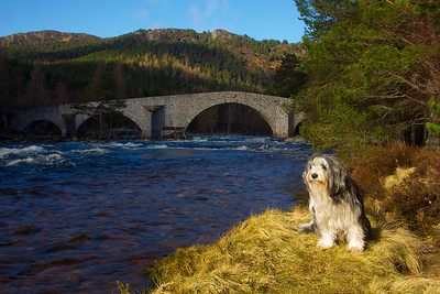 Buddy at Invercauld in a Ray of Sunshine.