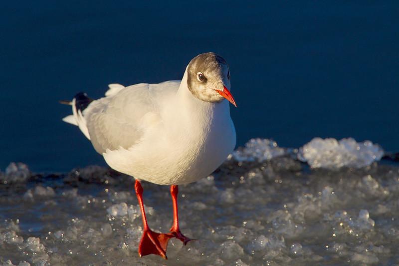 Black Headed Gull on Ice.