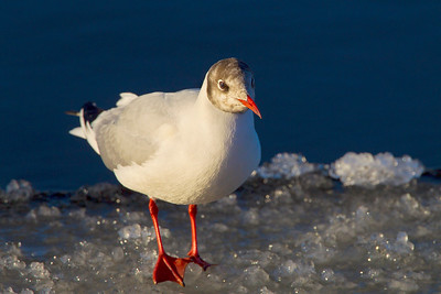 Black Headed Gull on Ice.