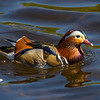 Male Mandarin Duck.