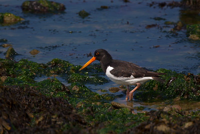Oystercatcher Looking for Food.