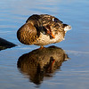 Female Mallard Duck Preening.