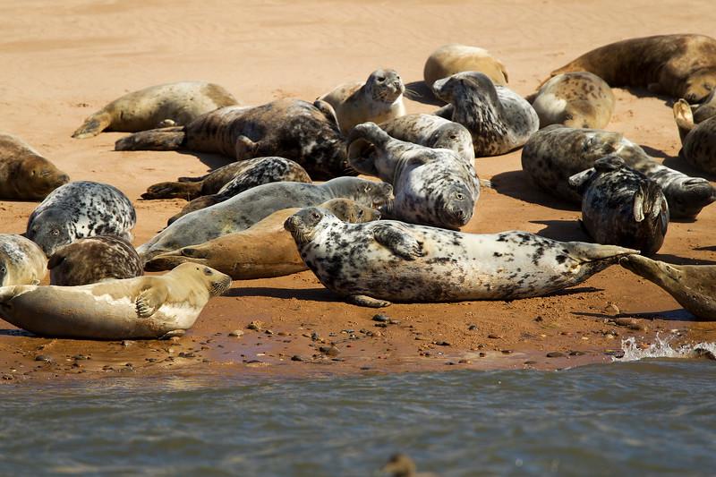 Seals Aberdeenshire Scotland..