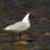 Black Headed Gull.