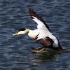 Eider Duck Landing. John Chapman.