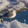 Common Gull 2nd Winter.