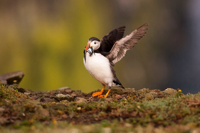 Puffin with Sand Eels.